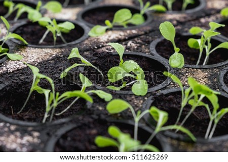 Lettuce seeds sprouting in a greenhouse during winter. Hydroponic vegetables