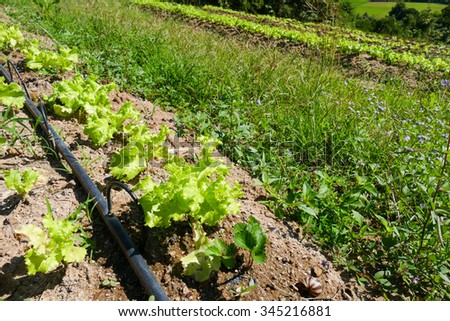 lettuce vegetable plot and water dripper system - stock photo