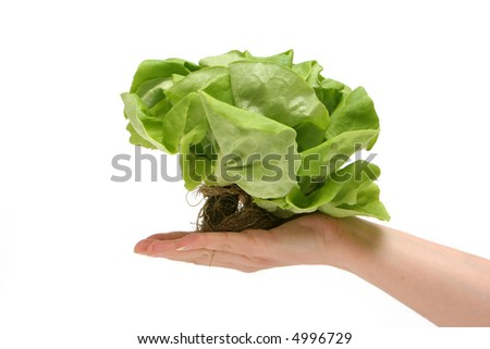 Lettuce with roots in a hand