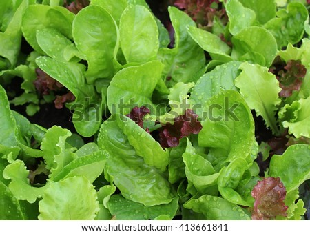 Lettuce with water drops on a garden bed - stock photo
