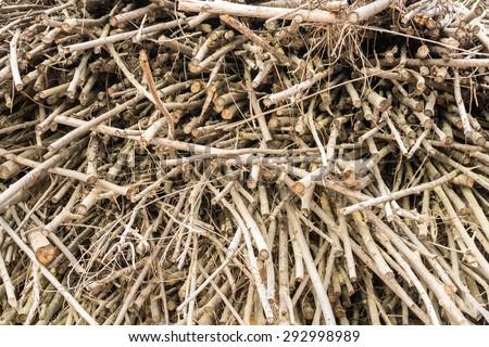 Leucaena Taramba,timber Biomass Energy  - stock photo