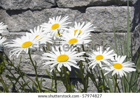 Leucanthemum maximum flowers in front of stone brick. - stock photo