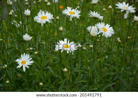 Leucanthemum × superbum 'Becky' (Shasta Daisy) - stock photo