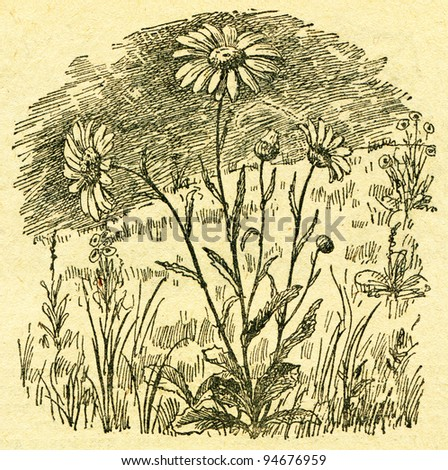"""Leucanthemum vulgare, the oxeye daisy - an illustration from the book """"In the wake of Robinson Crusoe"""", Moscow, USSR, 1946. Artist Petr Pastukhov - stock photo"""