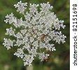 Leuchtk?fer ( Lampyridae ) auf Pflanze Stadtwald Iserlohn NRW Deutschland - stock photo