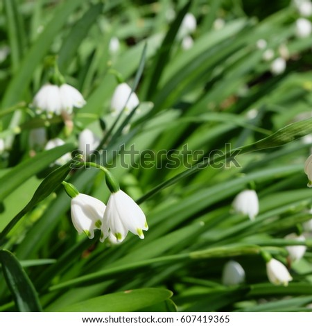 White bell shaped flowers stock images royalty free images leucojum small white bell shaped flower with green dot on tip of petal mightylinksfo