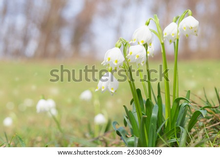Leucojum spring snowdrops bloom on shiny glade in springtime forest. Stock photo with shallow DOF and blurred background. - stock photo