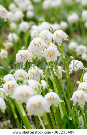 Leucojum vernum in free nature - stock photo