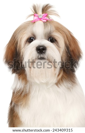 Apso dog. Close-up portrait on isolated white background - stock photo