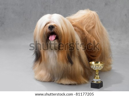 Lhasa Apso dog, standing on a gray background. Not isolated.
