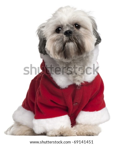 Lhasa Apso in Santa outfit, 13 months old, sitting in front of white background - stock photo