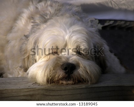 Lhasa Apso mixed breed dog sleeping outside at dusk.