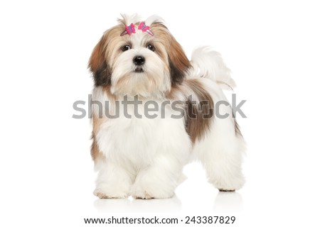 Lhasa Apso portrait against white background - stock photo