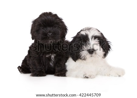 lhasa apso puppies on white together - stock photo