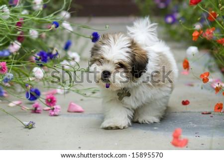Lhasa apso puppy - stock photo