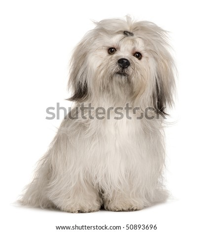 Lhasa Apso, 1 year old, sitting in front of white background - stock photo