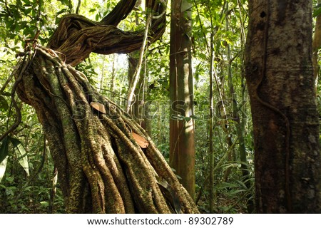 Liana growing in tropical rainforest in the Peruvian Amazon - stock photo