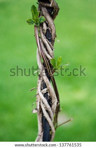 Liana winds around an iron rod and gives the new leaves - stock photo