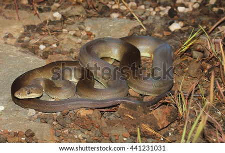 Liasis olivaceus, commonly called the olive python, is a python species found in Australia. Two subspecies are currently recognized, including the nominate subspecies described here. - stock photo