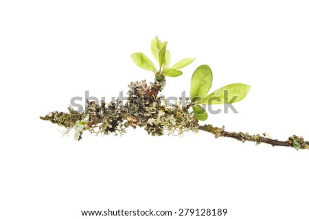 Lichen and fresh new leaves on a twig of a willow tree isolated against white - stock photo