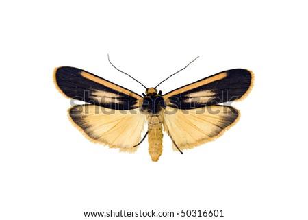 Lichen moth, Manulea replana, Australian moth, isolated on white, wingspan 30mm - stock photo