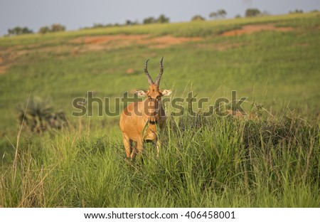 Lichtenstein's Hartebeest grazing in the African savanna at Murchison Falls National Park in Uganda, Africa - stock photo