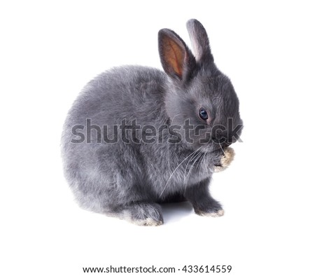 licking its paw Gray fluffy dwarf rabbit licking its paw. Isolated on white background - stock photo