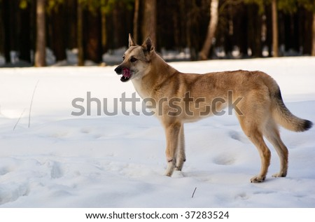 Licking lips Finnish Spitz-dog in winter forest - stock photo