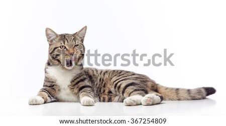 licking tabby cat on white background - stock photo