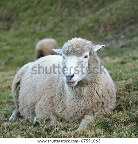 lie sheep - stock photo