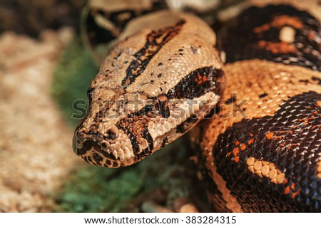 life african rock python looking into camera - stock photo