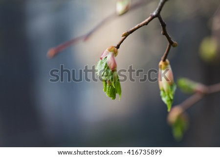 Life cycle concept. Birch buds, embryonic shoots with fresh green leaves. closeup tree branch, soft  background. shallow depth of field. - stock photo