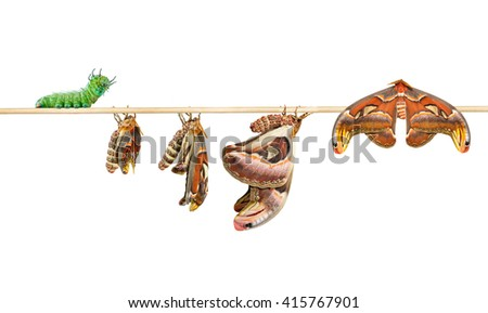 Life cycle of attacus atlas moth on white with clipping path - stock photo