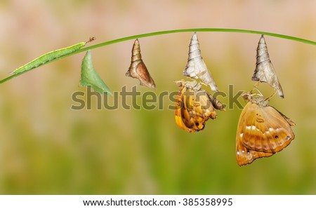 Life cycle of female black prince butterfly - stock photo