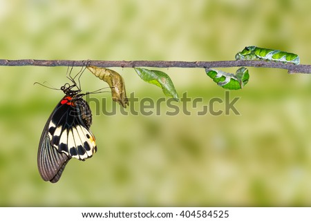 Life cycle of female great mormon butterfly from caterpillar - stock photo