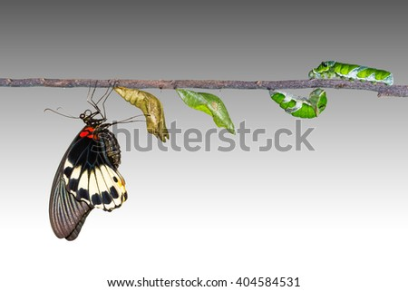 Life cycle of female great mormon butterfly from caterpillar with clipping path - stock photo