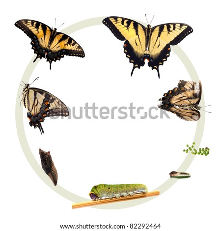 Life cycle of the Eastern Tiger Swallowtail butterfly (Papilio glaucus) from North America showing all stages in the development of the butterfly: Egg, caterpillar, chrysalis, adult, life and death. - stock photo