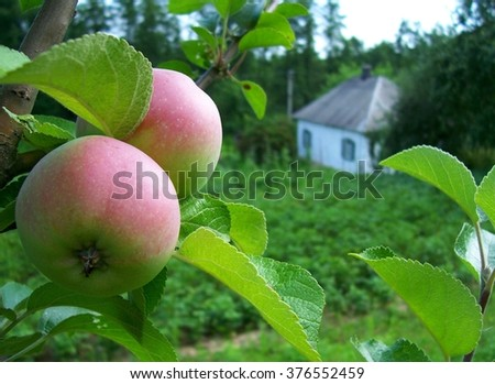 Life in the style of Ukrainian apples on the background of the rural cottage - stock photo