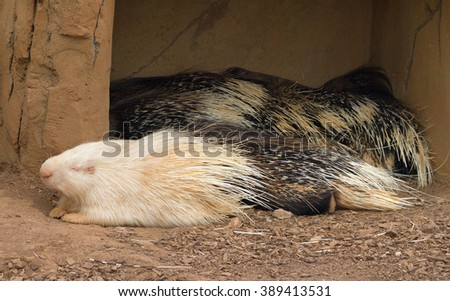 Life of porcupines in a captivity. - stock photo