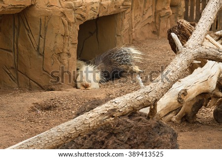 Life of porcupines in a captuvity. - stock photo