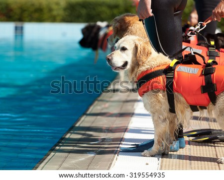 Lifeguard dog, rescue demonstration with the dogs in the pool.