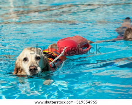 Lifeguard dog, rescue demonstration with the dogs in the pool. - stock photo