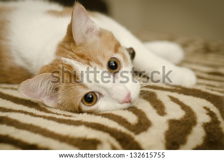 lifestyle portrait of cute kitten relaxing at home on a patterned blanket - stock photo