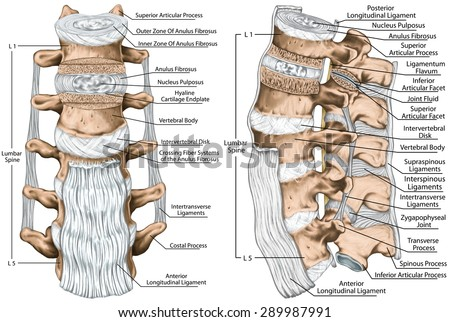 Ligaments Lumbar Spine Structure Anterior Longitudinal Stock ...
