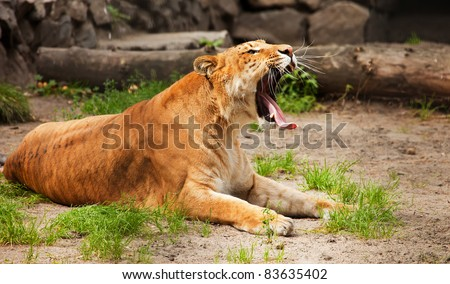 liger yawn with long tongue out