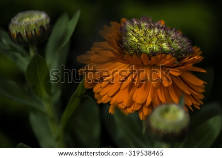 Light bathed Calendula Officinalis - Greenheart Orange in the garden bed emerging from the darkness. Some may know these as pot marigolds. - stock photo