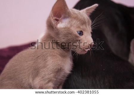 Light beige oriental kitten