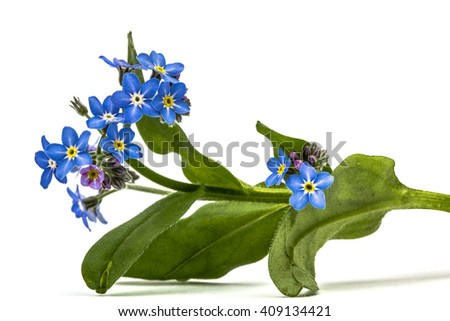 Light blue flowers of Forget-me-not (Myosotis arvensis), isolated on white background - stock photo