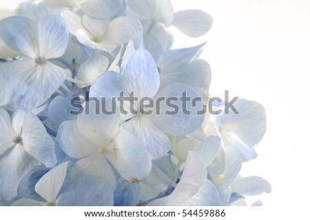 Light blue hydrangea flowers