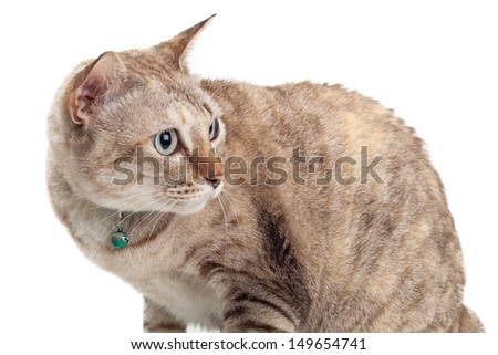 Light brown cat looking back on white background